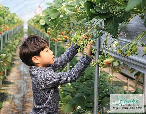 Strawberry Farm Strawberry Picking Experience in Korea