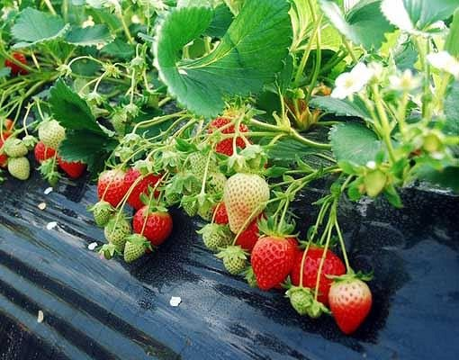 [Dec 1-May 31] Nami Island & Petite France & Strawberry Picking Shuttle Package_7