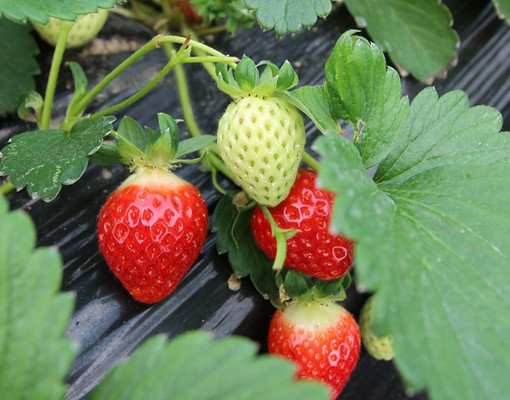 [Dec 1-May 31] 4 In A Day! Strawberry Farm,Nami Island,Petite France and Garden of morning calm One Day Tour_1
