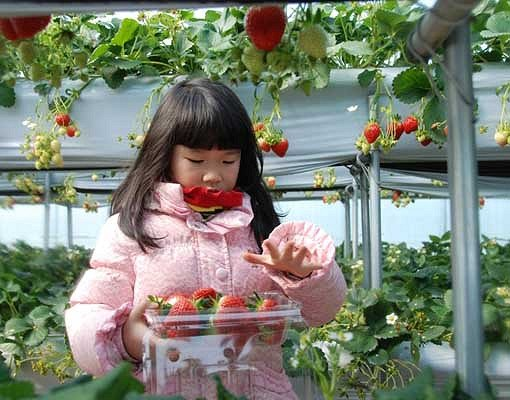 [Dec 1-Mar 31] 4 In A Day! Strawberry Farm,Nami Island,Petite France and Garden of morning calm One Day Tour
