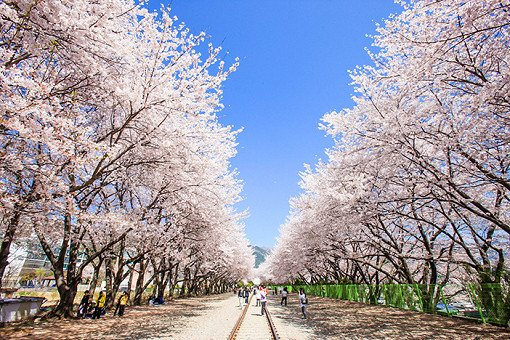 [From Seoul/Busan] 2019 Jinhae Cherry Blossom Festival One Day Tour_3