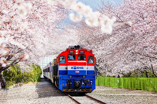 [From Seoul/Busan] 2019 Jinhae Cherry Blossom Festival One Day Tour_0
