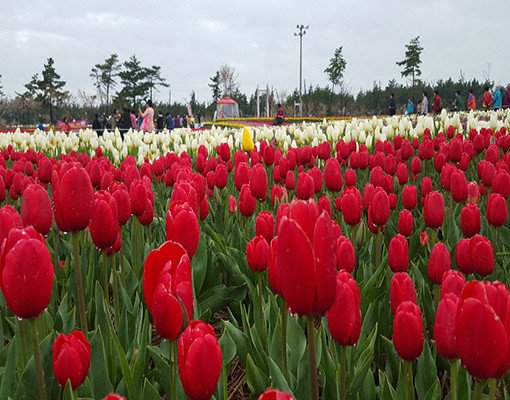 Taean Tulip Festival and Strawberry picking_7