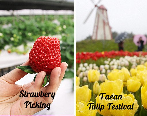 Taean Tulip Festival and Strawberry picking_0