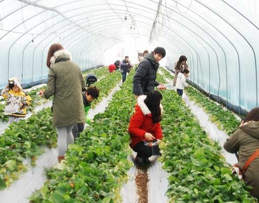 Taean Tulip Festival and Strawberry picking_4