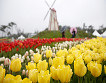 Taean Tulip Festival and Strawberry picking_thumb_8