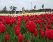 Taean Tulip Festival and Strawberry picking_thumb_7
