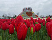Taean Tulip Festival and Strawberry picking_thumb_6