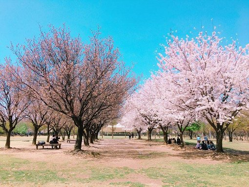 [From Seoul] Cherry Blossom One Day Tour_9