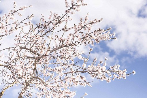 [From Seoul] Cherry Blossom One Day Tour_2