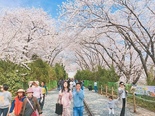 [From Seoul] Cherry Blossom One Day Tour_1