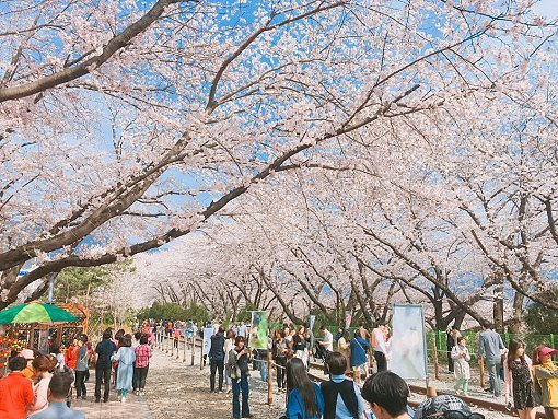 [From Seoul] Cherry Blossom One Day Tour_12