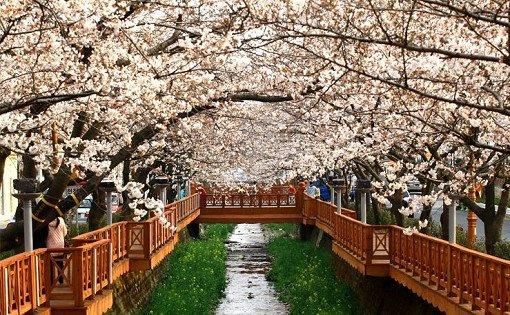 2018 1N2D Busan and Jinhae Cherry Blossom Festival Tour_16