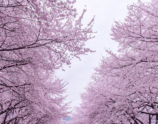 [From Busan] 2018 Jinhae Gunhangje Cherry Blossom Festival One Day Tour_2