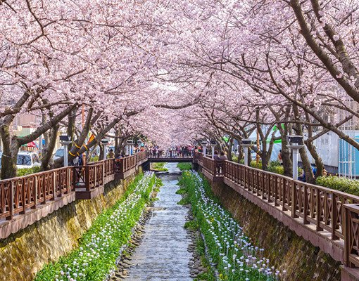 [From Busan] 2018 Jinhae Gunhangje Cherry Blossom Festival One Day Tour