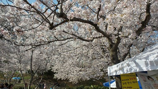 [From Busan] 2018 Jinhae Gunhangje Cherry Blossom Festival One Day Tour_5