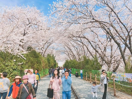 [From Busan] 2018 Jinhae Gunhangje Cherry Blossom Festival One Day Tour_8