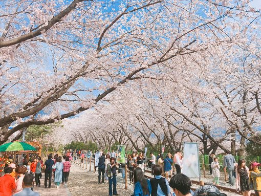 [From Busan] 2018 Jinhae Gunhangje Cherry Blossom Festival One Day Tour_10