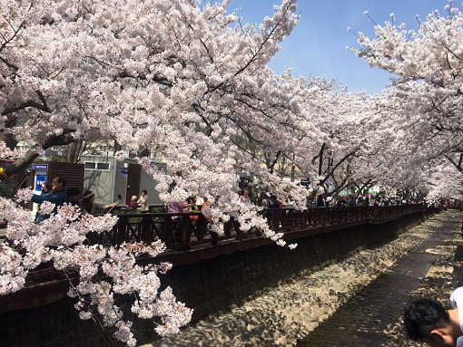 [From Busan] 2018 Jinhae Gunhangje Cherry Blossom Festival One Day Tour_7