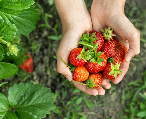 [Dec 1-May 31] Strawberry Farm, Nami Island, Garden of Morning Calm One Day Tour_0