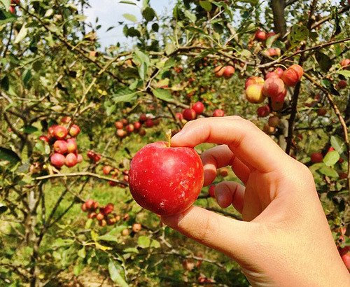 [Sep 29-Oct 9] Outskirt of Seoul One day Tour - Apple picking and Flower Exhibition