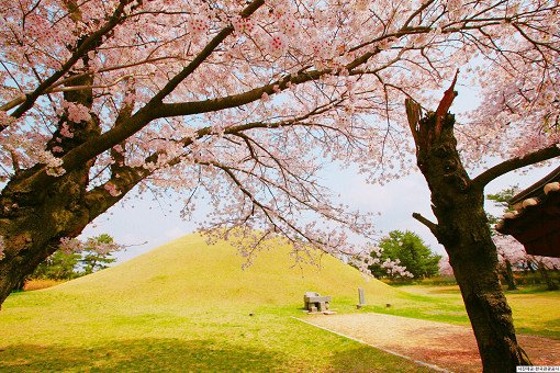 [From Busan] Gyeongju Cherry Blossom Festival One Day Tour_3