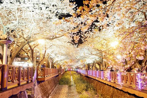 [From Busan] Jinhae Cherry Blossom Night Viewing Evening Tour_3