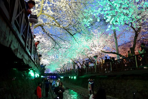 [From Busan] Jinhae Cherry Blossom Night Viewing Evening Tour_1